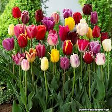 tulip bulbs breeders mix american meadows