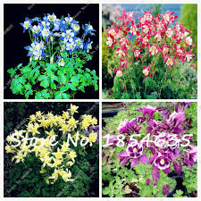 Columbine Plant Butterfly Columbine Plant Seed Promotion Shop For Promotional