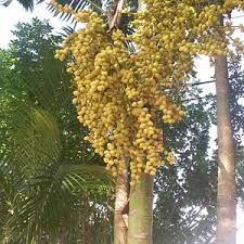 palm tree with berries ask an expert