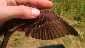 Canopy Birds by Molt Limits U2013 Birds Of Wvwa