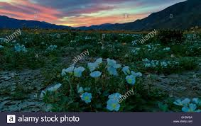 Anza Borrego Wildflowers Super Bloom by Amazing Sunset Of The Desert Wildflowers During The Spring Super