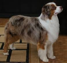 australian shepherd miniature best 20 australian shepherd breeders ideas on pinterest mini