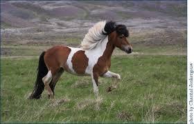 icelandic horse colors