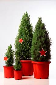 live potted trees merlino s trees