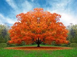 mccollum fall tree