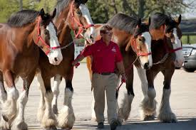 Budweiser Clydesdale Barn Budweiser Clydesdales At Lambs Farm Events Pinterest Horse