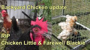 backyard chicken update rip chicken little u0026 farewell blackie