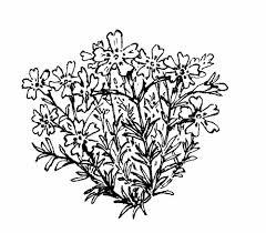 plants native to new england phlox subulata moss phlox go botany