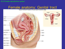 The Female Anatomy Female Reproductive System Ppt Video Online Download