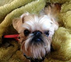 affenpinscher brussels griffon rescue affengriffon dogs puppies photos and all about this hybrid breed
