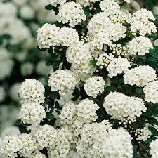 small white flowers flowering shrubs by season