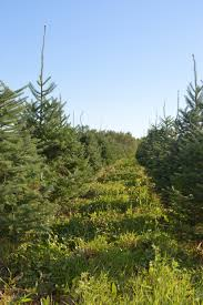 wholesale christmas trees mitchell family christmas tree farm