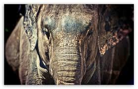 apple wallpaper elephant elephant trunk 4k hd desktop wallpaper for 4k ultra hd tv
