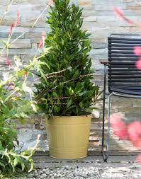 Laurel Topiary - garden plant of the month of october bay laurel bay tree