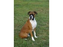 boxer dog breeders near me boxer puppies for sale