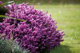 purple lilac purple heather flowers free stock photo public domain pictures