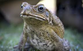 How To Get Rid Of Cane Toads In Backyard Cane Toads On The March To The Pilbara The West Australian