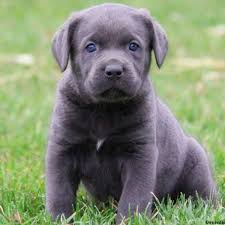 bluetick coonhound labrador retriever mix for sale puppies for sale in pa find your perfect puppy at greenfield puppies
