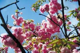 what is an ornamental cherry tree home guides sf gate