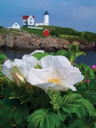 cape cod native plants the beach rose in the garden