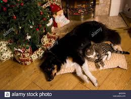cat and dog and christmas stock photos u0026 cat and dog and christmas