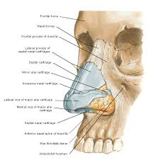 Parts Of Ethmoid Bone Best 25 Structure Of Bone Ideas Only On Pinterest Human Bone
