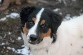 australian shepherd hound mix happy tales 2017