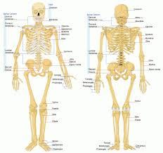 The Human Body Picture Human Body Bone Diagram Human Anatomy Diagram