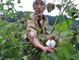 native plants of japan news japanese native breed cotton production on increase