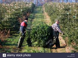 polish harvest hands carry a nordmann fir through the fir