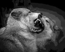 black and white wolf fight photograph by steve mckinzie