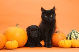 halloween background puppys pets black kitten and daxiedoodle puppy with pumpkins photo wp37268