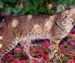 jaguar facts big cat rescue