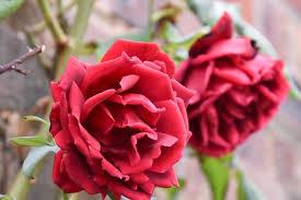 Fragrant Rose Plants - rose u0027crimson glory u0027