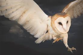 Barn Owl Photography Birds Of Prey Jennifer Maharry Photography