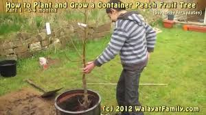 Patio Fruit Trees Uk by Growing Container Fruit Peach Tree Uk Planting 1 Youtube