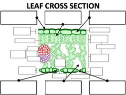 structure of the leaf by amcooke teaching resources tes