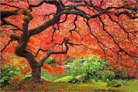 don paulson japanese maple tree to pond poster posterlounge