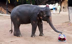 thailand u0027s elephant massage boycott travel leisure