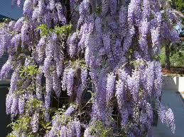 wisteria meaning seattle trekker wisteria