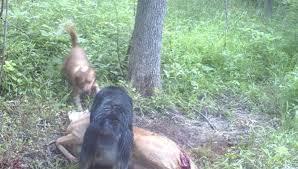 boxer dog kills man dogs killing deer natural history