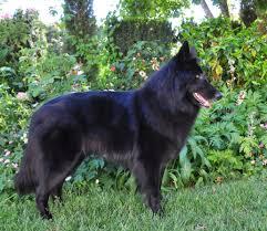 belgian sheepdog groenendael rescue ch blackforest u0027s aurora u2013 rosie u2013 blackforest belgian sheepdogs