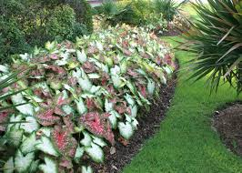 Flowers Gardens And Landscapes by Caladiums Bring Color Into Shady Landscapes Mississippi State