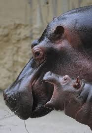 Baby Hippo Meme - pretty funny memes about hippo funny memes pinterest wallpaper