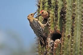field guide to the native plants of sydney gila woodpecker audubon field guide