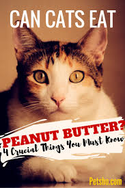 can cats eat peanut butter 4 things you need to know pet blog