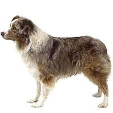 australian shepherd history library veterinarians in westland cherry hill animal clinic