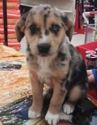 miniature australian shepherd 8 weeks miniature australian sheperd i want looks just like a baby casey