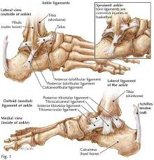 Anterior Fibular Ligament Pictures Of Ankle Joint Ligaments