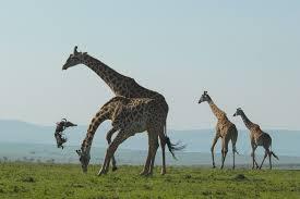 giraffe tosses dead wildebeest around in bizarre pictures